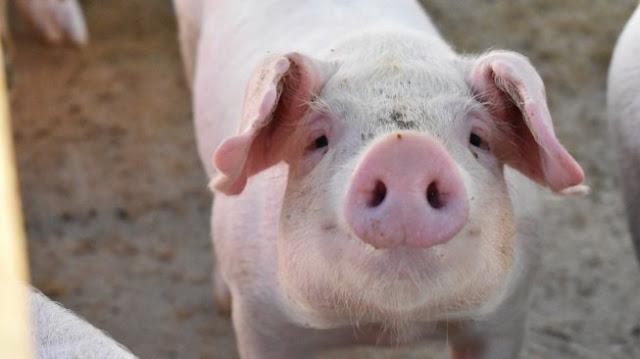 Puluhan Ribu Babi di NTT Mati Diserang Virus ASF