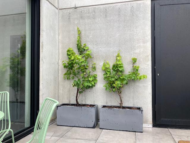 Vitis druif in plantenbak kunststof pvc cortenstaal metaal beton zink in polyester zelf make prijzen