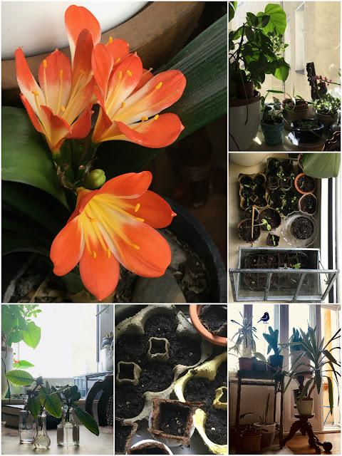 Pflanzenfenster und Miniplfänzchen, blühende Clivia