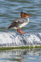 Common merganser female Las Gallinas Wildlife Ponds, CA - photo by Frank Schulenburg