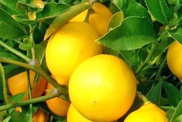 fruta lima