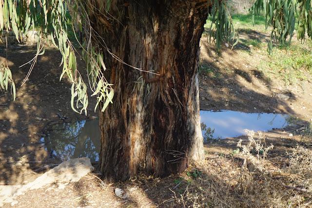 עץ בעין מסילה