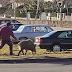 Homem passeia javali (de trela) em Montalegre, em pleno confinamento