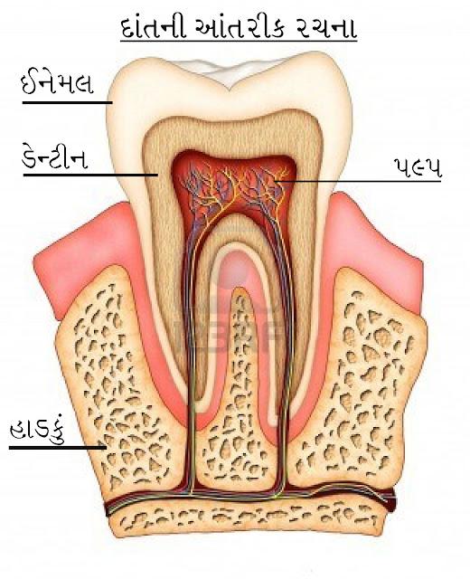દાંતની આંતરીક રચના - ઈનેમલ , ડેન્ટીન , પલ્પ