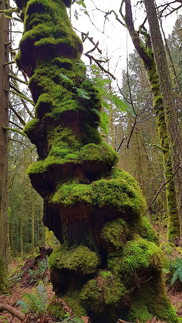 A pillar of moss on Galiano Island...