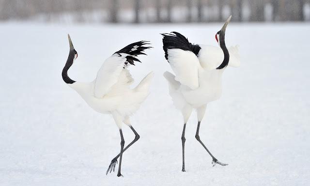 شاهد رقصة التودد من طيور الكركي المتوج أحمر