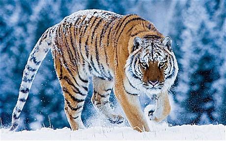 Siberian  Amur  TigerVladimir Putin Hunting Tiger