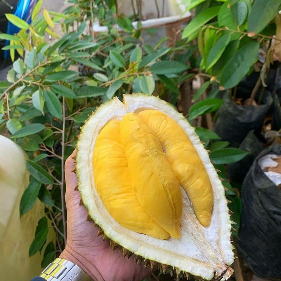 Bibit Durian Musangking Kaki Tiga Super Sulawesi Selatan