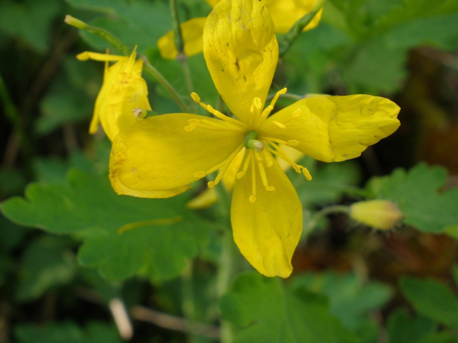 Fiori Gialli Per Verruche.Di Fiore In Fiore Celidonia