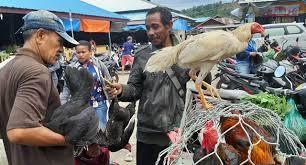 Harga Ayam Jago Kampung 2020 Terbaru Saat Ini
