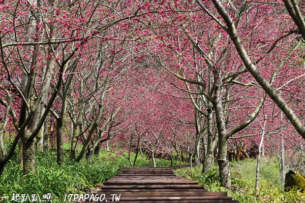 《台中.新社》2018沐心泉休閒農場-八重櫻盛開,櫻花步道散步好幸福