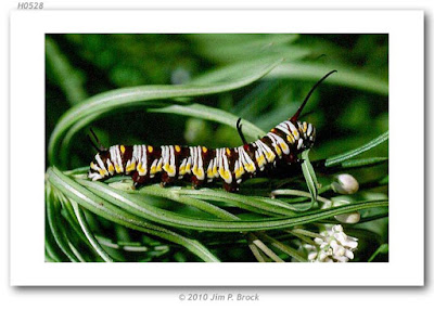 oruga de mariposa reina