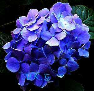 How To Change Color Of Hydrangea Pink Blue White Purple
