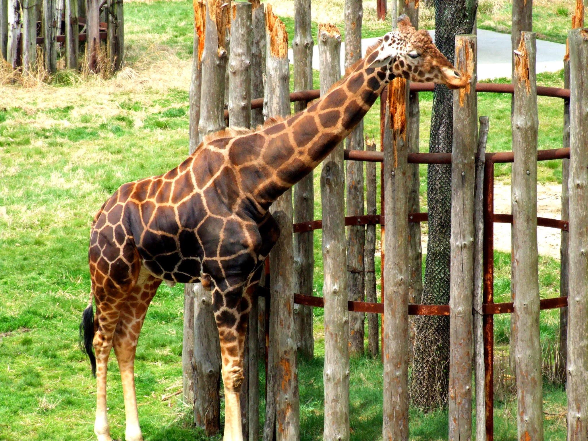 動物園のキリンさんの全身の写真素材です。きりんってあの頭の謎の角が凄く可愛いですよね。オシコーン(ossicone)って言うそうです。