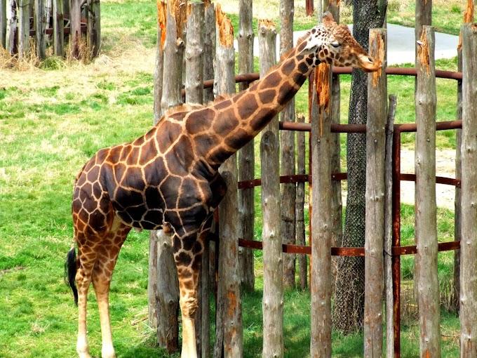 076 #かわいい #キリン #動物 #動物園 #風景