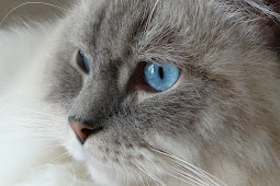 Jenis Kucing Ragdol