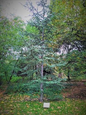Lebanon Cedar in London