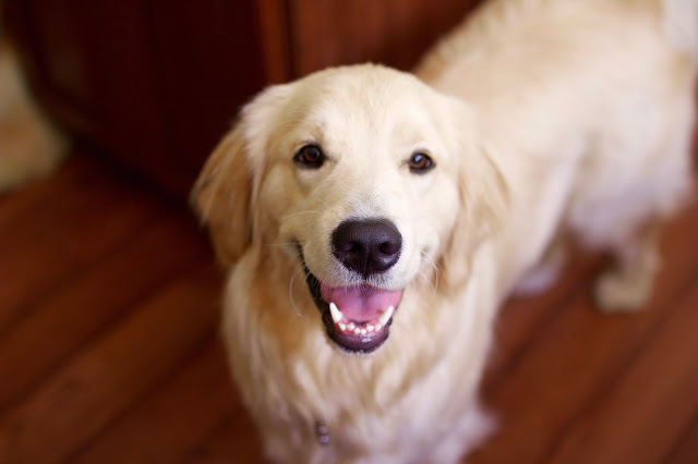 Golden Retriever named Dax in fall home tour
