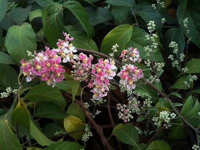 Ayahuasca (Banisteriopsis caapi)