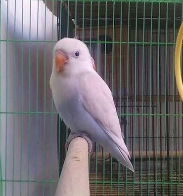 Harga Lovebird Pastel Putih