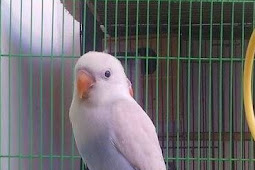 Harga Lovebird Pastel Putih Terbaru Juni 2019