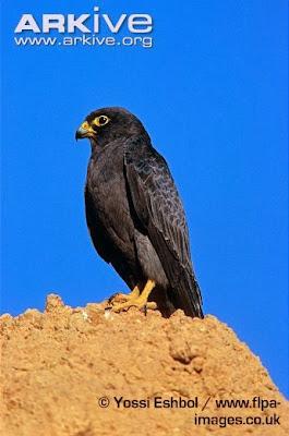 Halcón pizarroso Falco concolor