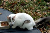 stray white cat of mandarin