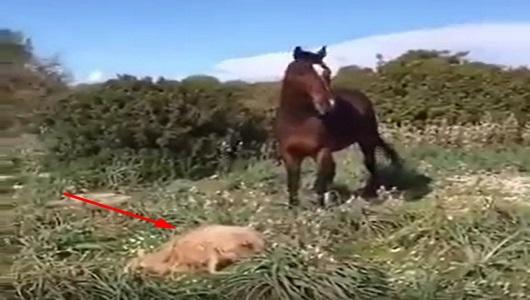 واقعة غريبة .. حصان  يفترس خروف أمام صاحبه بدون رحمة