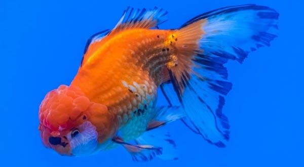 Cara Mengatasi Ikan Mas Koki Terkena Parasit atau Kutu