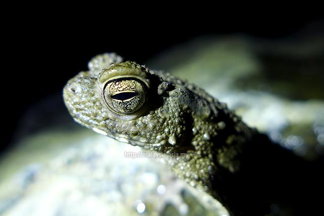 Frog Race Sarawak Borneo