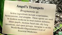 Angel's trumpet properties, Medicine garden - Elizabeth Park, West Hartford, CT