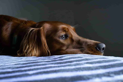 are water chestnuts bad for dogs, water chestnuts dogs, can dogs eat chestnuts