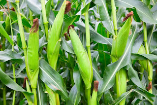 sweat corn farming