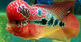 Cara Memilih Anakan Ikan Louhan Yang Berkualitas