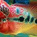 Cara Memilih Anakan Ikan Louhan Berkualitas