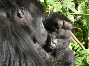 A Mountain Gorilla Mother with her baby