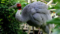 Sarus crane bird photos_Grus antigone