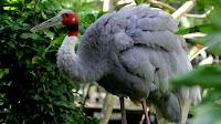 Sarus crane bird photos_Grus antigone