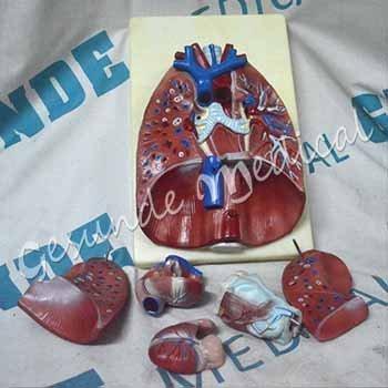 jual torso organ tubuh tenggorokan
