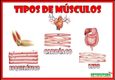 Musculos Lisos Para Dibujar