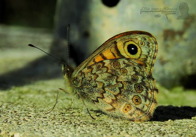 Saltacercas (Lasiommata megera)