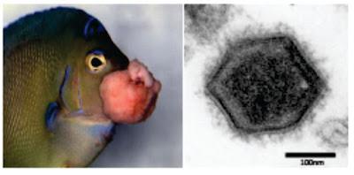 Penyakit Virus Pada Ikan : Lymphocystis Virus