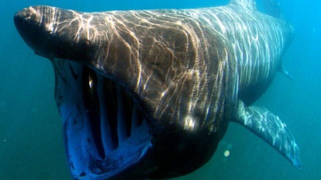 Καρχαρίας 4 μέτρων και 430 κιλών ξεβράστηκε σε παραλία της Ρόδου (pics)