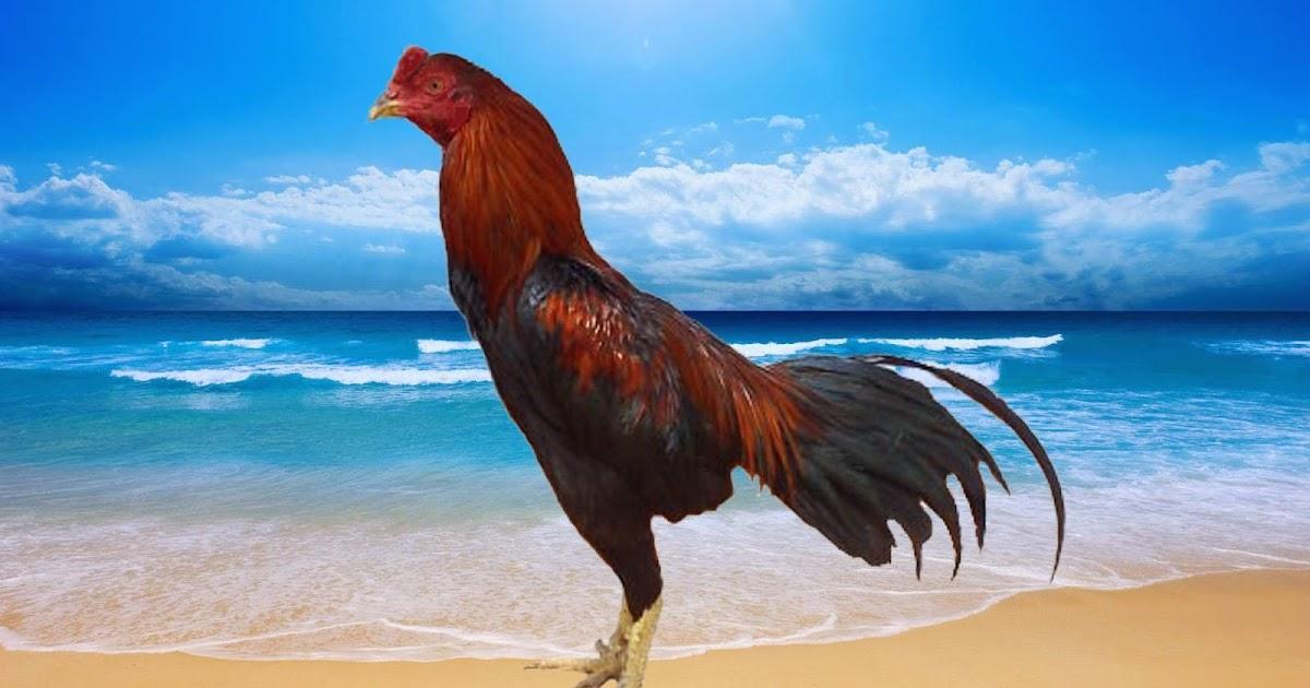 Ayam Juara: Ciri-Ciri Ayam Bangkok Pukul Mati