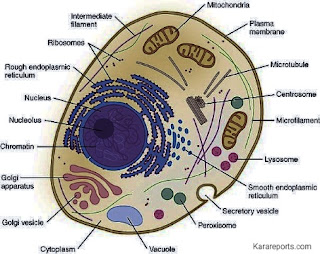 Animal Cell Picture| The Fundamental Unit of Life