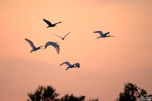 Spoonbills at Sunset