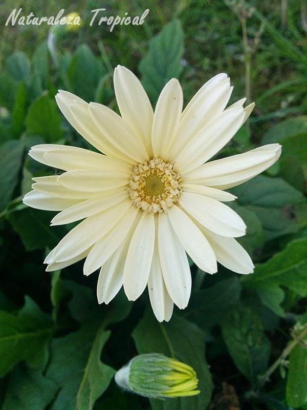 Variedad blanca de la flor Margarita Japonesa, Familia Asteraceae