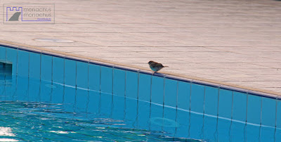 Sparrow thinking of diving