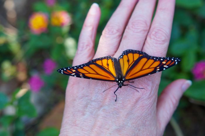 male monarch butterfly on hand