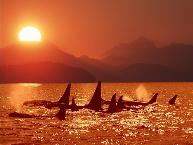 Groep orka's bij een oranje zonsondergang